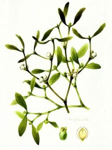 Mistletoe 4